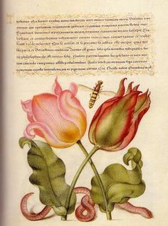 Pink tulip, imaginary insect and worm by Joris Hoefnagel (Flemish, from Mira Calligraphiae Monumenta, illuminated by Joris Hoefnagel with calligraphy by Georg Bocskay Botanical Drawings, Botanical Art, Illustration, Botanical Prints, Scientific Illustration, Artist Books, Art, Prints, Vintage Illustration