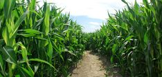 Check out these eight tips for how to grow corn in a backyard vegetable garden or other small space and how to maximize your harvest. Corn Crop, Corn Stalks, Corn Plant, Backyard Vegetable Gardens, Ears Of Corn, Bountiful Harvest, Corn Maze, Drought Tolerant Plants, Garden Beds