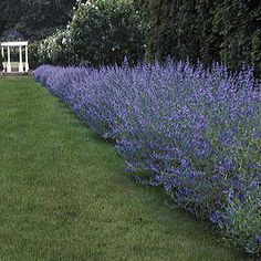This superior clone of the Blue Mist Shrub was selected at Longwood Gardens in Pennsylvania for its upright growth, long bloomtime, heavy flower production, and superb silvery foliage.