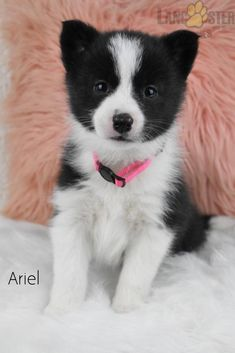#Pomsky#Charming #PinterestPuppies #PuppiesOfPinterest #Puppy #Puppies #Pups #Pup #Funloving #Sweet #PuppyLove #Cute #Cuddly #Adorable #ForTheLoveOfADog #MansBestFriend #Animals #Dog #Pet #Pets #ChildrenFriendly #PuppyandChildren #ChildandPuppy #LancasterPuppies www.LancasterPuppies.com Pomsky Puppies For Sale, Lancaster Puppies, Animals Dog, Mans Best Friend, Puppy Love, Corgi, Pets, Sweet, Candy