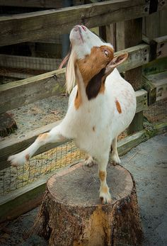 #90 - Funky Gee had a calling: he had rhythm in his hooves and he was MEANT to DANCE! #100DaysOfGoats