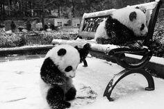 Awe pandas in the snow! i love pandas! Panda In Snow, Panda Bebe, Cute Panda, Cute Baby Animals, Animals And Pets, Funny Animals, Baby Pandas, Baby Bears, Photo Panda