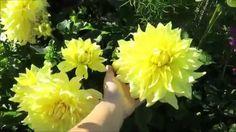 Георгины: деление, проращивание, посадка в открытый грунт