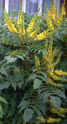 Mahonia 'Charity' is a great plant for a blast of sunshine yellow flowers in winter.  part sun to shade.