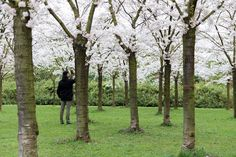 Amsterdam Travel: Where to Find Cherry Blossom in Amsterdam : As the Bird flies... Travel, Writing, and Other Journeys Travel Advice, Travel Guides, Travel Tips, Amsterdam Travel Guide, Amsterdam Things To Do In, Cherry Blossom, Stuff To Do, Bird, Writing