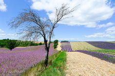 LVE09 - Champs de lavandes à Valensole - Alpes de Haute Provence 04