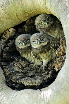 Little Owls | Photo by Richard Peters