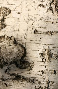 Birch tree bark | © Katarina Christenson