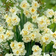 http://www.tulipworld.com/daffodils-bulbs/sir-winston-churchill-narcissus.html