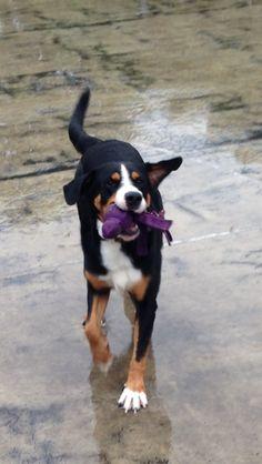 Barney Großer Schweizer Sennenhund   Pawshake Wetter