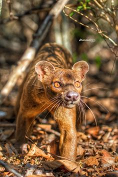 """Fossa.""       Google search:  ""The Fossa (Scientific name: Cryptoprocta ferox) is a cat-like, carnivorous mammal endemic to Madagascar. It is a member of the Eupleridae, a family of carnivorans closely related to the Mongoose family. Wikipedia."""