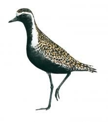 American Golden Plover (Migrant) Golden Plover, List Of Birds, Panama, American, Animals, Animales, Panama Hat, Animaux, Animal