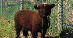 Black Sheep Farm Babydoll sheep