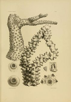 Coral  (Great Flickr stream from Biodiversity Library)