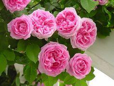 Heirloom 300 Climbing Rose Seeds Climber Pink par seedsshop sur Etsy, $1.79