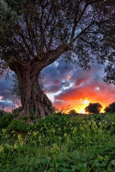#Olivi #Olive Trees