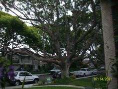 The camphor tree in my front yard