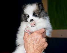 Pomeranian Puppy-Young and Old, via Flickr.