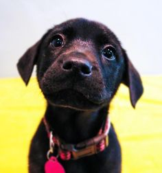 Riley is an adoptable Black Labrador Retriever searching for a forever family near Summit, NJ. Use Petfinder to find adoptable pets in your area.
