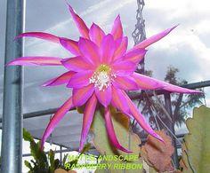 RASPBERRY RIBBON Epiphyllum