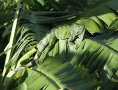 Invasive Green Iguana In My Backyard - Tortola British Virgin Islands