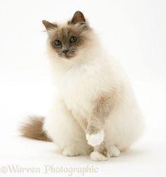 Blue-point Birman cat | Warren Photographic
