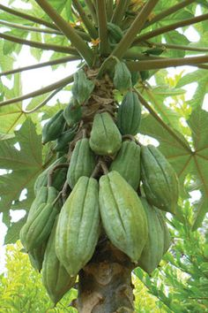 Papayuela (Vasconcellea pubescens) - The mountain papaya of the Andes