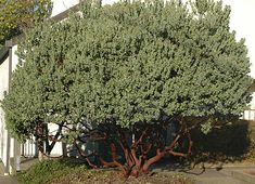 Arctostaphylos columbiana or Hairy Manzanita   Cool plant with a great name...