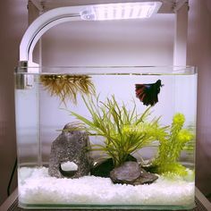 Betta need gallons, a place to hide, temperatures of degrees Fahrenheit, and a filter. Small Fish Tanks, Cool Fish Tanks, Mini Aquarium, Aquarium Fish Tank, Fish Tank Themes, Nano Cube, Fish Tank Design, Amazing Aquariums, Betta Fish Tank