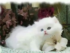 Sublime chaton angora... ...