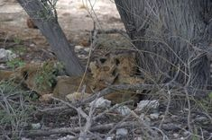 Happy that I spotted those super cute cubs. Mommy wasn't around # wildlifephoto World Of Wanderlust, African Animals, Outdoor Life, Wildlife Photography, Cubs, Safari, Lion, National Parks, Super Cute