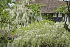 Wisteria Problems FAQ - by Royal Horticultural Society UK Wisteria Pruning, Rhs Hampton Court, Garden Screening, Cottage Garden Plants, Plant Health, Types Of Plants, How To Level Ground, Flower Beds