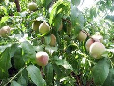 Keep ants from your peach trees with companion planting.