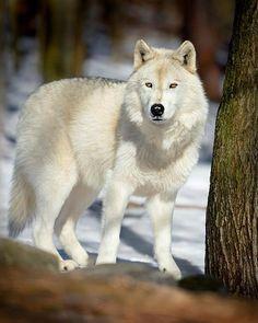 white wolf, stunning...... www.pinterest.com/biowolf6/%E1%B9%AB%E1%B8%A3%E1%BC%90-%E1%BA%81%E1%BB%8F%E1%B8%BD%E1%B8%9F/