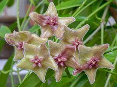 Hoya chlortanhta v. Tutuilensis - planta