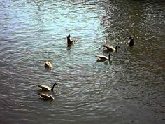 Geese in the Richmond Canal  Geese bobbing for something to eat in Richmond Virginias canal walk near Browns Island via https://www.youtube.com/channel/UCghtMlqtBFCiTTCRnpOWH7w    https://remedyimpact.wordpress.com/
