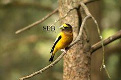 Pretty yellow bird at Hartwick Pines State Park, MI - SEB PHOTOGRAPHY