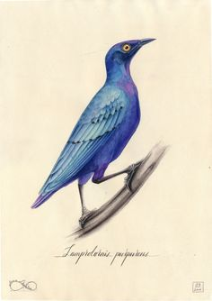 Image of Purple Starling. Art Print