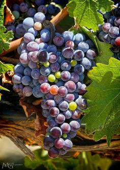 Grape vine loaded withgrapes - Temecula Wine Country, by Marcie Gonzalez, via Flickr