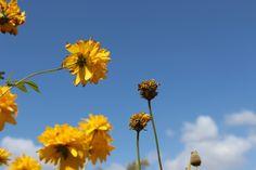 @anursery#sunflower#with clear sky