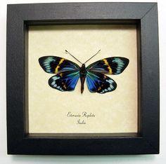 Eterusia repleta Male female metallic blue green day flying moth from India