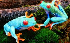 jade: the colours are amazing on these frogs.