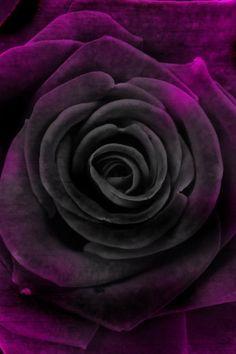 deep velvet purple rose up close iphone wallpaper background Dark Flowers, Little Flowers, Exotic Flowers, Shades Of Purple, Purple And Black, Black Roses, Magenta, Red Roses, Rose Girl