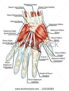 Anatomy of muscular system � hand, palm muscle - tendons, ligaments � educational biological board