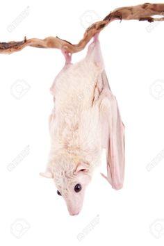 Egyptian fruit bat or rousette, Rousettus aegyptiacus. on white background Stock Photo - 37973511