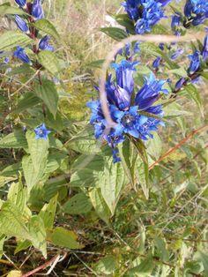 Genziana minore. Questa specie nel periodo della piena fioritura è pregiata per il suo aroma ed utilizzata nella fabbricazione di liquori in miscela ad altre genzianelle.