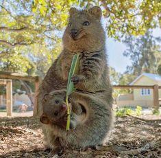 Photo of a Quokka (small marsupial) posted by Mammalian - Australian Wildlife. Rare Animals, Happy Animals, Animals And Pets, Leaf Animals, Cute Little Animals, Cute Funny Animals, Vulnerable Species, Australian Animals, Mundo Animal