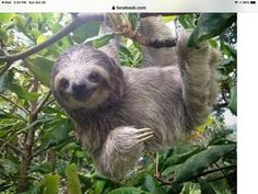 Costa Rica Safari Vacations for Nature & Wildlife Pictures Of Sloths, Cute Sloth Pictures, Sloth Photos, Cute Baby Sloths, Cute Baby Animals, Animals And Pets, Funny Animals, Baby Otters, Wild Animals