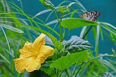 Yellow hibiscus and Monarch butterfly