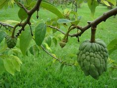 Sugar apples are also known as anon, custard apple and sweetsop. They are a member of the Annonaceae family. Sugar apples grow best in warm tropical locations and are a common...